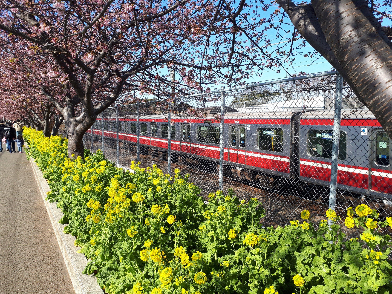 三浦市桜まつり