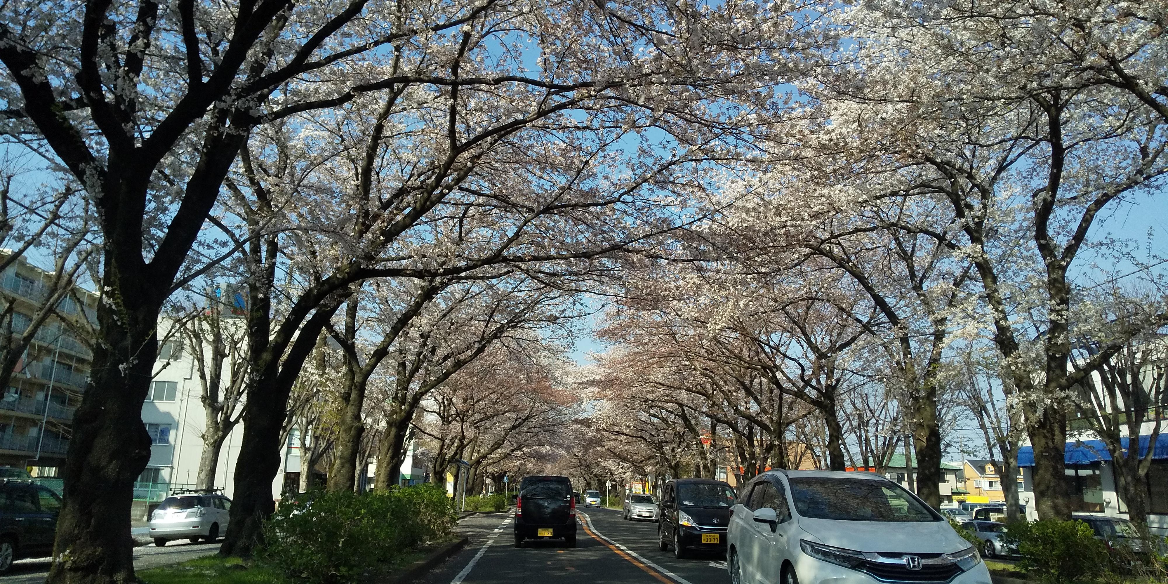 桜のトンネル(*^▽^*)